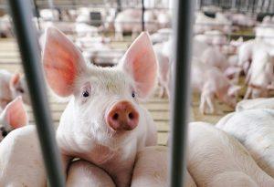 Откриха огнище на африканска чума по свинете в пазарджишко село